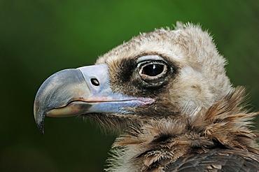 Cinereous vulture (Aegypius monachus), portrait, captive, Germany, Europe