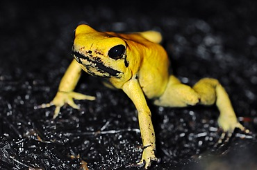 Golden Poison Frog or Golden Dart Frog (Phyllobates terribilis), native to Colombia, in captivity, North Rhine-Westphalia, Germany, Europe