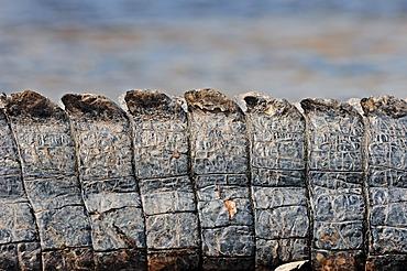 American Alligator or Pike-headed Alligator (Alligator mississippiensis), tail detail, Everglades National Park, Florida, USA