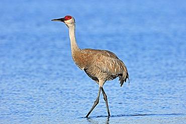 Florida Sandhill Crane (Grus canadensis pratensis), Myakka River State Park, Florida, USA