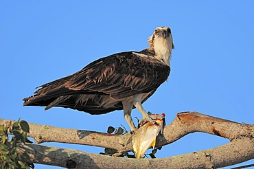 Osprey (Pandion haliaetus), with fish in its talons, Everglades National Park, Florida, USA