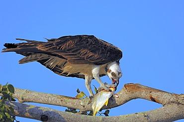 Osprey (Pandion haliaetus), feeding on caught fish on tree, Everglades National Park, Florida, USA