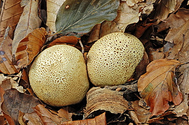 Common Earthball or Pigskin Poison Puffball (Scleroderma citrinum), Gelderland, Netherlands, Europe