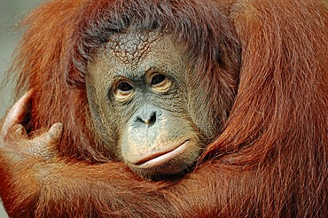 Bornean Orangutan (Pongo pygmaeus), female, portrait, species of Borneo, Asia, captive, The Netherlands, Europe