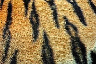 Siberian tiger or Amur tiger (Panthera tigris altaica), detail of coat, Asian species, captive, Germany, Europe