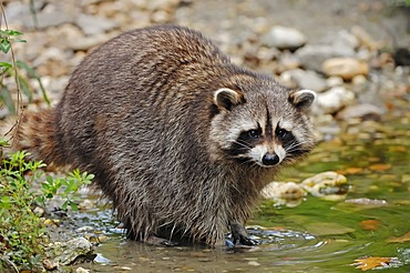 Raccoon (Procyon lotor), found in North America, captive, the Netherlands, Europe