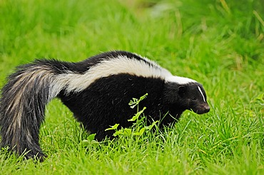 Striped skunk (Mephitis mephitis), found in North America, captive, Netherlands, Europe
