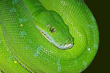Green tree python (Chondropython viridis, Morelia viridis), found in New Guinea and northern Australia, captive, North Rhine-Westphalia, Germany, Europe