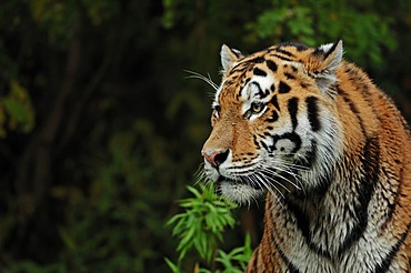 Siberian tiger or Amur tiger (Panthera tigris altaica), portrait, Asian species, captive, The Netherlands, Europe