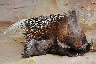 Indian crested porcupine (Hystrix indica, Hystrix leucura), female with young animal, native to the Middle East and India, captive, Germany, Europe