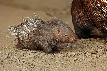 Indian crested porcupine (Hystrix indica, Hystrix leucura), young animal, native to the Middle East and India, captive, Germany, Europe