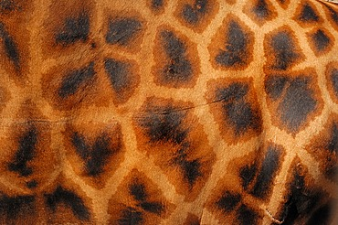 Rothschild giraffe (Giraffa camelopardalis rothschildi), detailed view of fur, found in Africa, captive, France, Europe