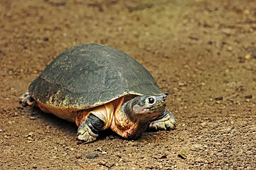 Malaysian giant turtle (Orlitia borneensis), found in Asia, captive, Belgium, Europe