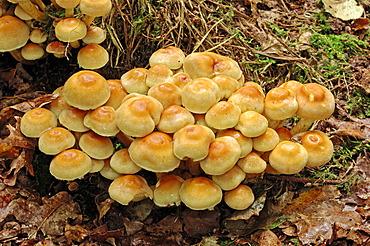 Sulfur tufts, clustered woodlovers (Hypholoma fasciculare), Gelderland, Netherlands, Europe