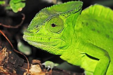 Crested or Fringed Chameleon (Chamaeleo cristatus, Trioceros cristatus), portrait, species from Africa, captive, Bergkamen, North Rhine-Westphalia, Germany, Europe