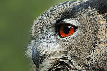 European eagle owl or Eurasian Eagle Owl (Bubo bubo), portrait, captive, Germany, Europe