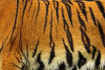 Siberian tiger (Panthera tigris altaica), fur detail, from Asia, captive, Netherlands, Europe