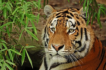 Siberian tiger (Panthera tigris altaica), portrait, from Asia, captive, Netherlands, Europe