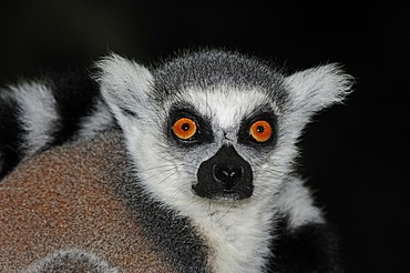 Ring-tailed lemur (Lemur catta), portrait, found in Madagascar, Africa, captive, Germany, Europe