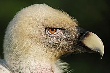 Griffon vulture (Gyps fulvus), portrait, captive, North Rhine-Westphalia, Germany, Europe