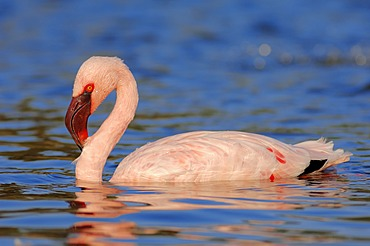 Lesser flamingo (Phoenicopterus minor), bathing, found in Africa, captive, Germany, Europe