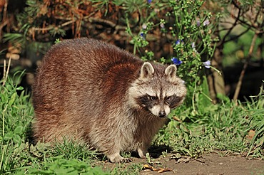 Raccoon (Procyon lotor), found in North America, introduced to Germany, Hesse, Germany, Europe