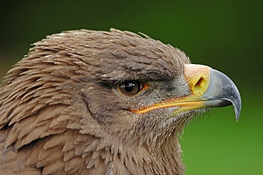Steppe eagle (Aquila nipalensis), portrait, found in Asia, captive, Germany, Europe