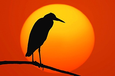 Grey Heron (Ardea cinerea) at sunset, North Rhine-Westphalia, Germany, Europe, digital composing