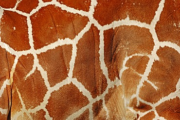 Reticulated giraffe (Giraffa camelopardalis reticulata), skin detail, native to Africa, in captivity, Germany, Europe