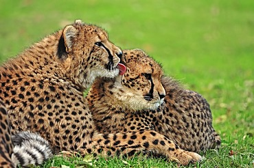 Cheetahs (Acinonyx jubatus), pair, occurrence in Africa, captive, Germany, Europe