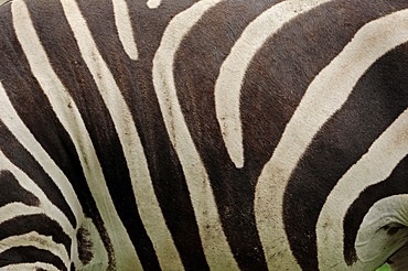 Grant's zebra (Equus quagga boehmi, Equus burchellii boehmi), detailed view of the fur, found in Africa, captive, Germany, Europe
