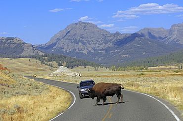 American Bison (Bison bison), bull crossing a road in front of a car, Yellowstone National Park, Wyoming, USA