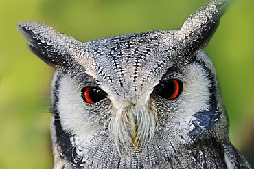 Northern White-faced Owl or White-faced Scops-Owl (Ptilopsis leucotis, Otus leucotis), portrait, native to Africa, in captivity, Netherlands, Europe