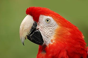 Scarlet Macaw (Ara macao), portrait, native to South America, in captivity, Bergkamen, North Rhine-Westphalia, Germany, Europe