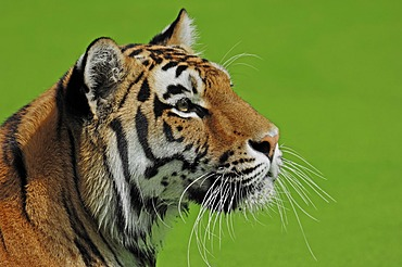 Siberian Tiger or Amur tiger (Panthera tigris altaica), native to Asia, in captivity, Netherlands, Europe