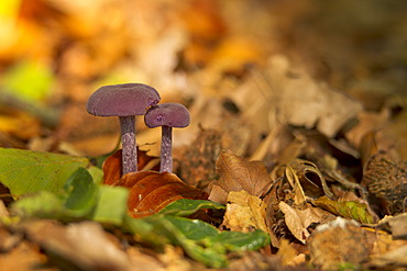 Amethyst Deceiver (Laccaria amethystea) growing on the forest floor, Bergisches Land, North Rhine-Westphalia, Germany, Europe