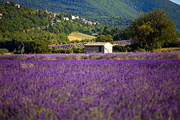 Blooming field of Lavender (Lavandula angustifolia), near Sault and Aurel, in the Chemin des Lavandes, Provence-Alpes-Cote d'Azur, Southern France, France, Europe, PublicGround