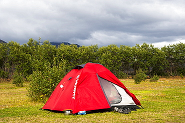 Tent in front of Downy Birch (Betula pubescens), Husadalur campsite in the valley of Thorsmoerk, Thorsmoerk, Laugavegur hiking trail, Highland, Iceland, Europe