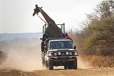 Giraffe (Giraffa camelopardalis), animal transport, truck, Limpopo, South Africa, Africa