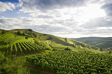 Vineyards near Oberbergen, Kaiserstuhl range, Baden-Wuerttemberg, Germany, Europe