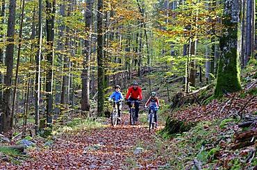 Father and children riding mountain bikes in a forest near Grainau, Werdenfelser Land, Upper Bavaria, Bavaria, Germany, Europe