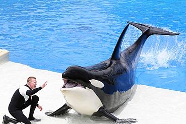 Trained Orca or Killer Whale (Orcinus orca), Shamu Stadium, SeaWorld, San Diego, California, USA