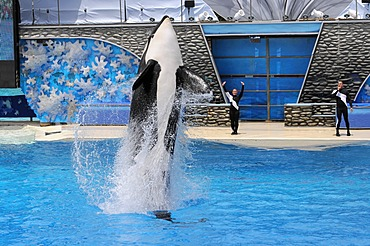 Trained Orca or Killer Whale (Orcinus orca), Shamu Stadium, SeaWorld, San Diego, California, USA
