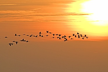 Common cranes (Grus grus) in flight, sunrise, Zingst peninsula, Mecklenburg-Western Pomerania, Germany, Europe