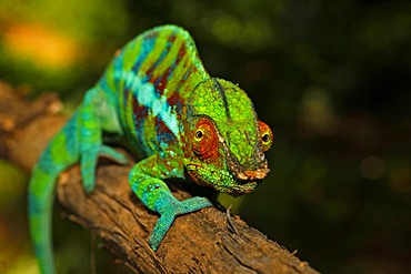 Panther Chameleon (Furcifer pardalis), Ankify colour variation, Madagascar, Africa, Indian Ocean