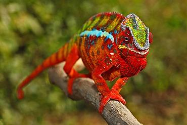 Panther Chameleon (Furcifer pardalis), Ambilobe-Ambilorama colour variation, Madagascar, Africa, Indian Ocean