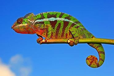 Panther Chameleon (Furcifer pardalis), Montagne d'Ambre colour variation, Madagascar, Africa, Indian Ocean