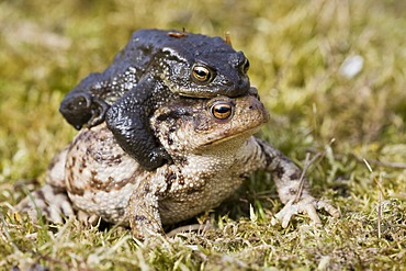 Common toads (Bufo bufo), mating