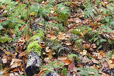 Winter Mushroom, Velvet Stem, Velvet Foot or Enokitake. (Flammulina velutipes), Limburg, Hesse, Germany, Europe