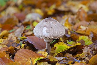 Parasol Mushroom (Macrolepiota procera), Limburg an der Lahn, Hesse, Germany, Europe